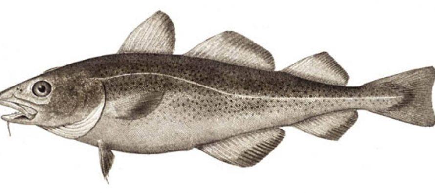 Fiskeprotein gir mer muskler og mindre fett