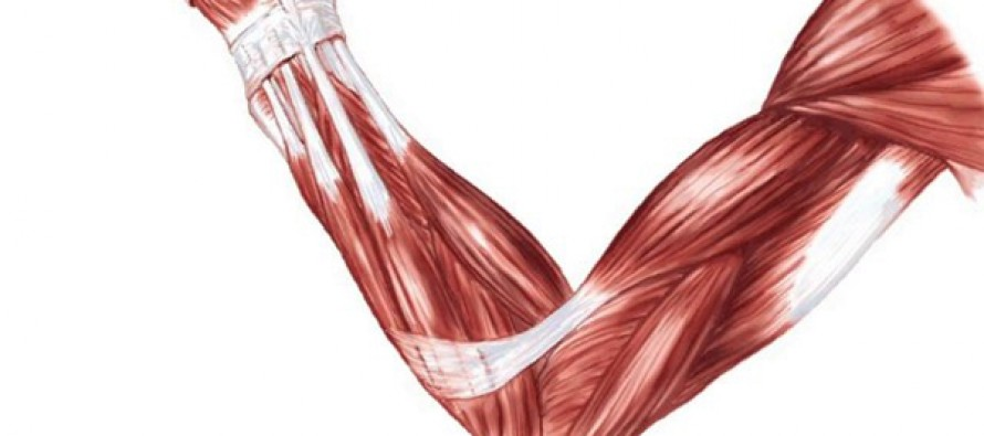 Hva vet du egentlig om musklene dine?