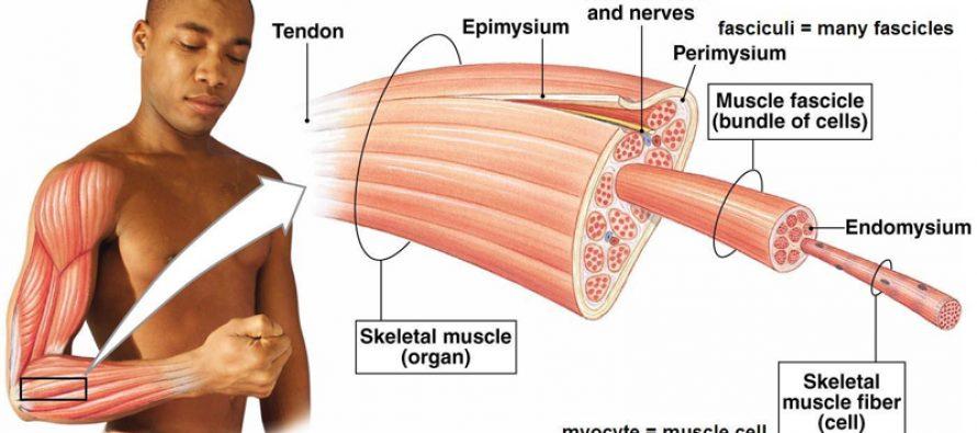 Visste du at det finnes ulike typer muskelfibre i musklene våre?